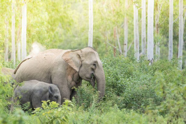 Asiatic Elephant is big five animal in asia stock photo