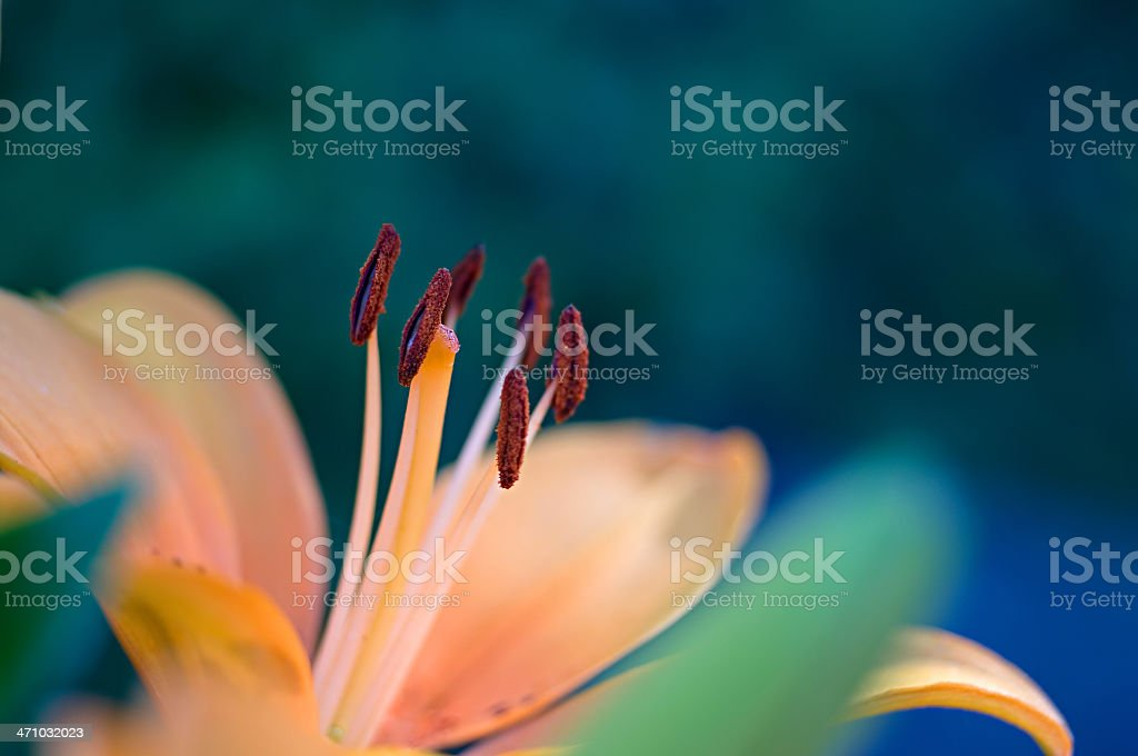 Asiatic Hybrid Lily 'Compass' stock photo