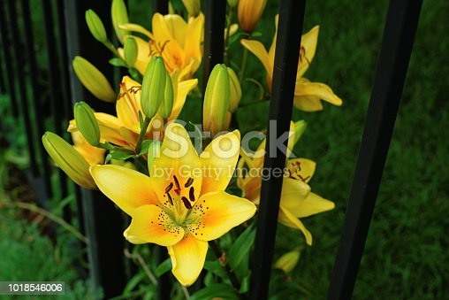 Asiatic Lily Bulbs yellow