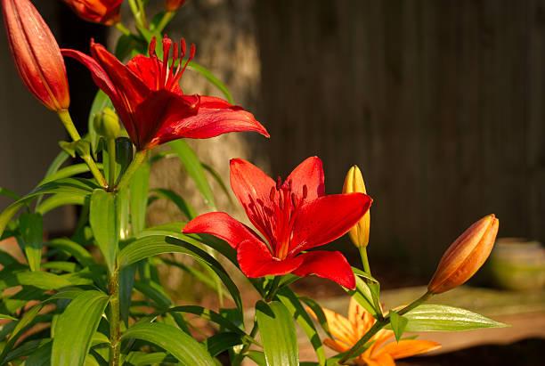Asiatic Lily Flowers and Buds stok fotoğrafı