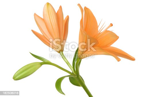 Two orange Asiatic Lily flowersPlease see some similar images from my portfolio: