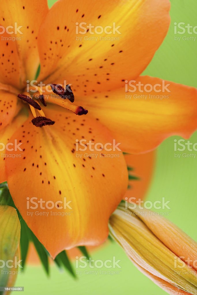 Asiatic Lily stock photo