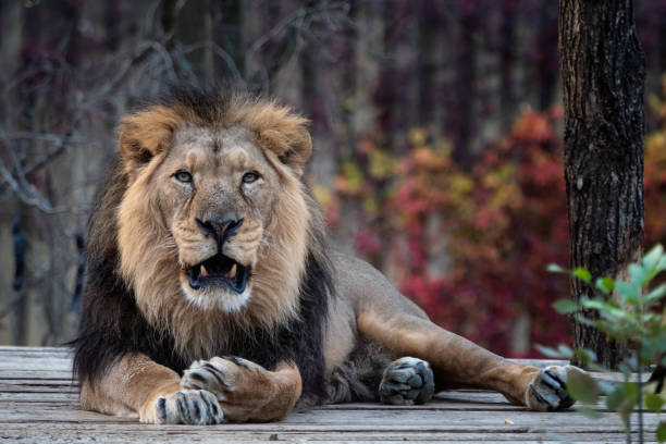 Asiatische Löwe (Panthera Leo Persica). Eine vom Aussterben bedrohten Arten. – Foto