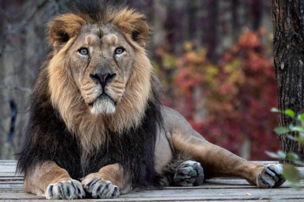 Asiatischer Löwe (Panthera leo persica). Eine vom Aussterben bedrohte Art. – Foto