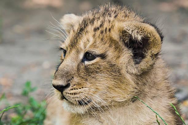 Asiatic lion cub stock photo