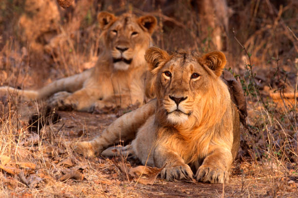 Asiatic Lion (Panthera leo persica) stock photo