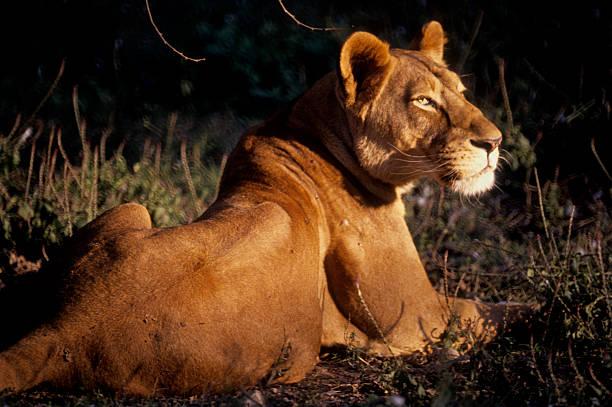 Asiatic Lion(ess) stock photo