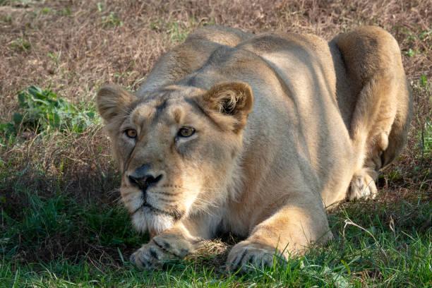 Asiatische Löwin (Panthera leo persica). Eine vom Aussterben bedrohte Art. – Foto