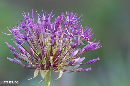 Asiatic onion flower. Growing decorative flowers in the garden. Bouquets for the holidays. Selective focus.