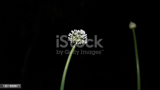 Flowering filament of Onion or Allium Cepa. Umbrella flower with black background and ready to ripe for seed.