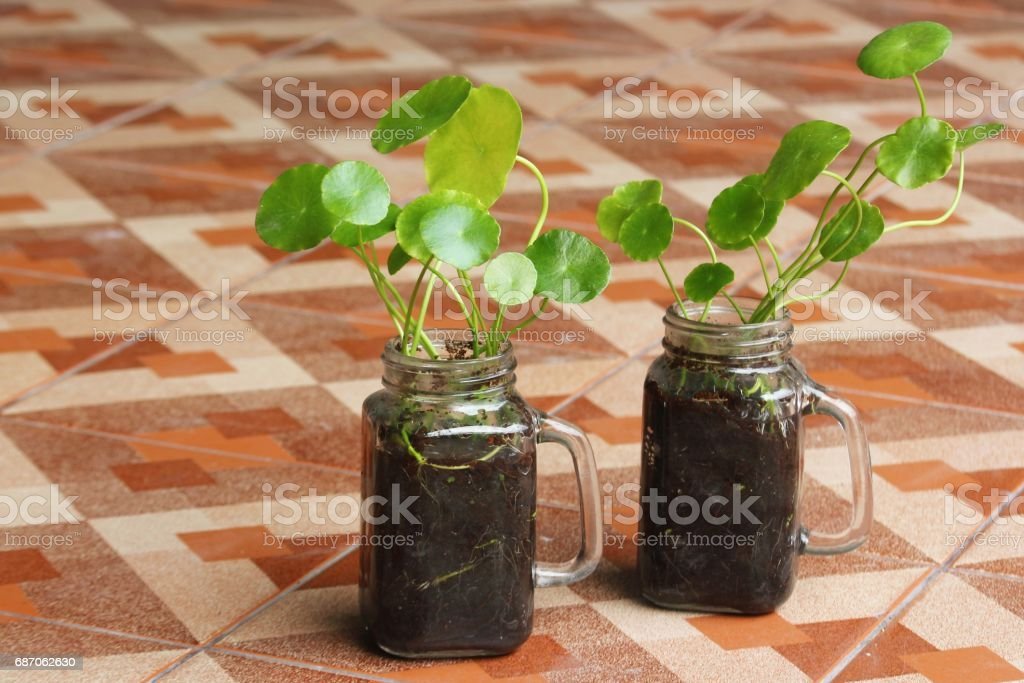 Asiatic Pennywort in glass stock photo