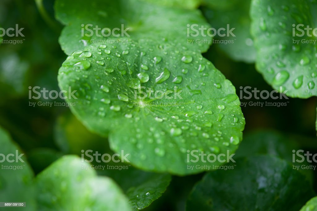 Asiatic Pennywort in traditional medicine stock photo