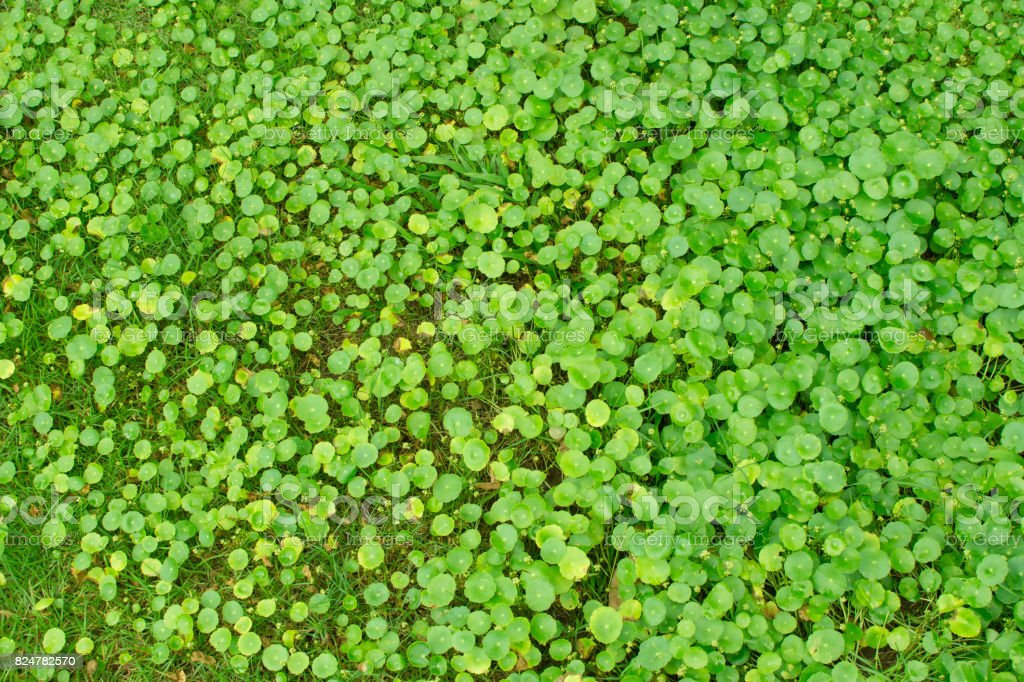 Asiatic Pennywort leaf stock photo