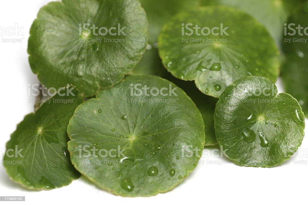 Asiatic Pennywort or Gotu Kola leaf (Centella asiatica) royalty-free stock photo