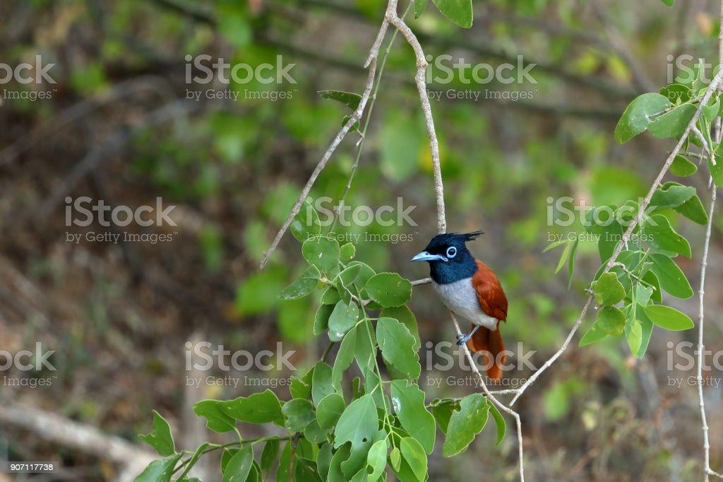 Asiatische Paradiesschnäpper en Sri Lanka - foto de stock
