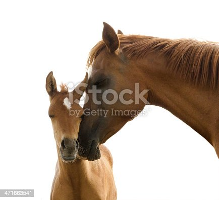 Asil Arabian foal (Asil means - this arabian horses are of pure egyptian descent) - about 8 weeks old. Isolated on white. The young stallion smooch with his mother.