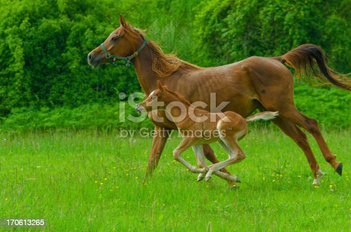 Asil Arabian mare and her foal - about 14 days old in gallop on meadow.