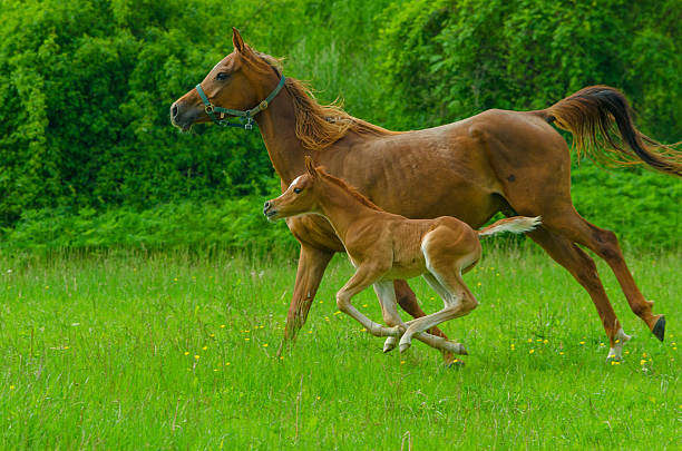 Asil Arabian horses - mare and foal in gallop Asil Arabian mare and her foal - about 14 days old in gallop on meadow.  arabian horse stock pictures, royalty-free photos & images