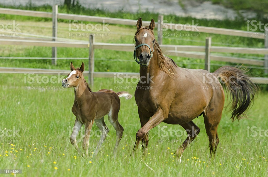 Asil Arabian horses - mare and foal in gallop royalty-free stock photo