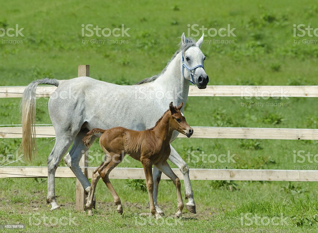 Asil Arabian horses - mare and foal royalty-free stock photo