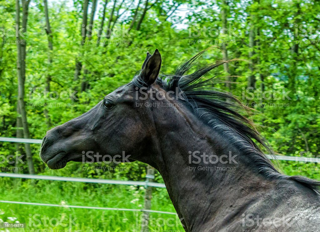 Asil Arabian horses - stallion portrait in gallop royalty-free stock photo