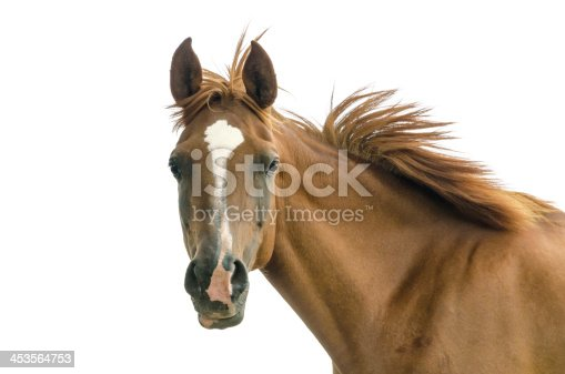 Asil Arabian mare (Asil means - this arabian horses are of pure egyptian descent). Isolated on white.