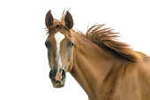 Asil Arabian mare - isolated on white