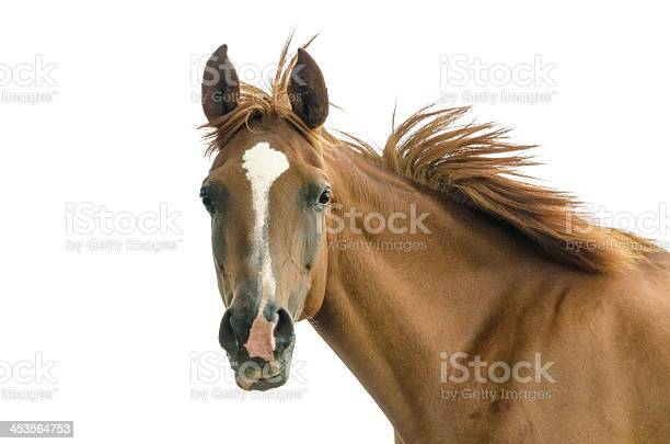 Asil arabian mare isolated on white picture id453564753?b=1&k=6&m=453564753&s=612x612&h=z3opp2mwfxej1f9n kw0zvd8qkvli6vyucan5ubxrwy=
