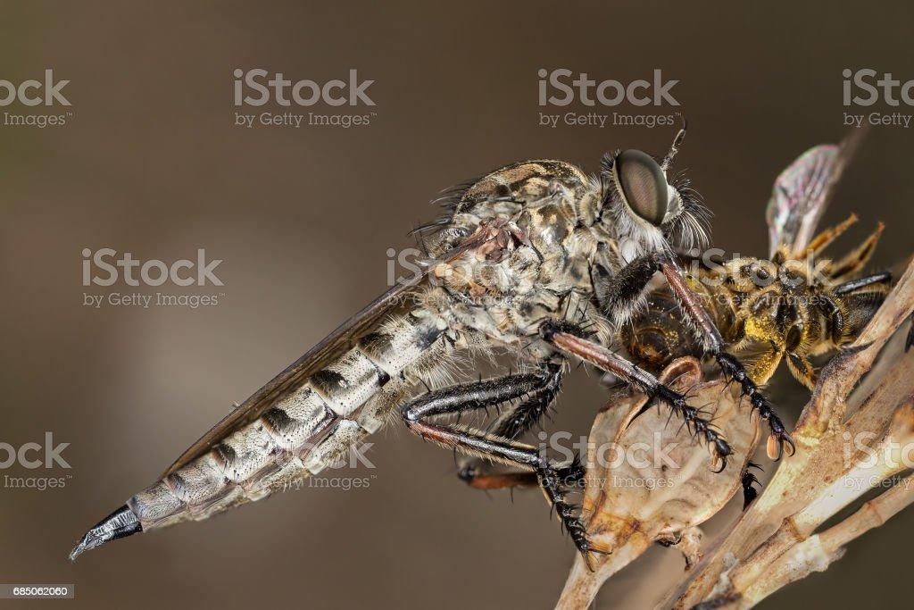 Asilidae - Robber fly stock photo