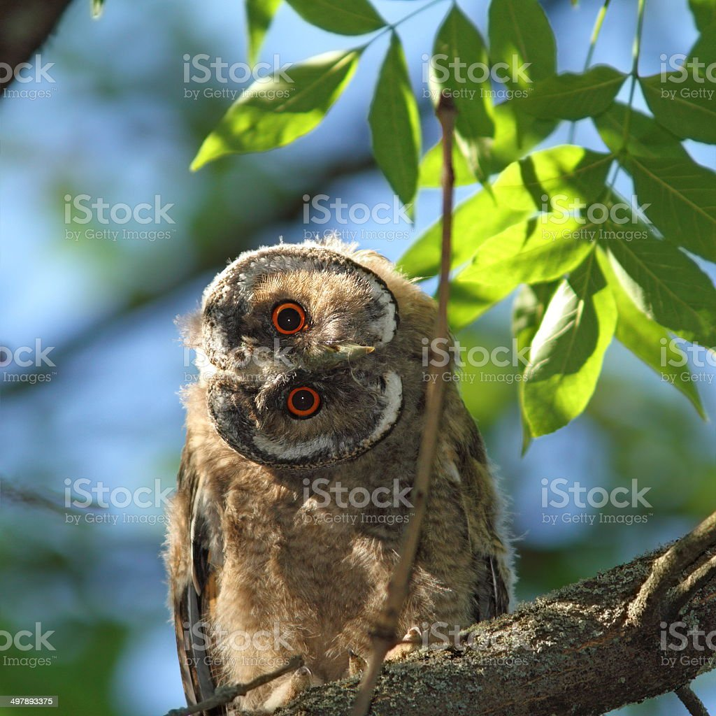 asio otus juvenile in tree stock photo
