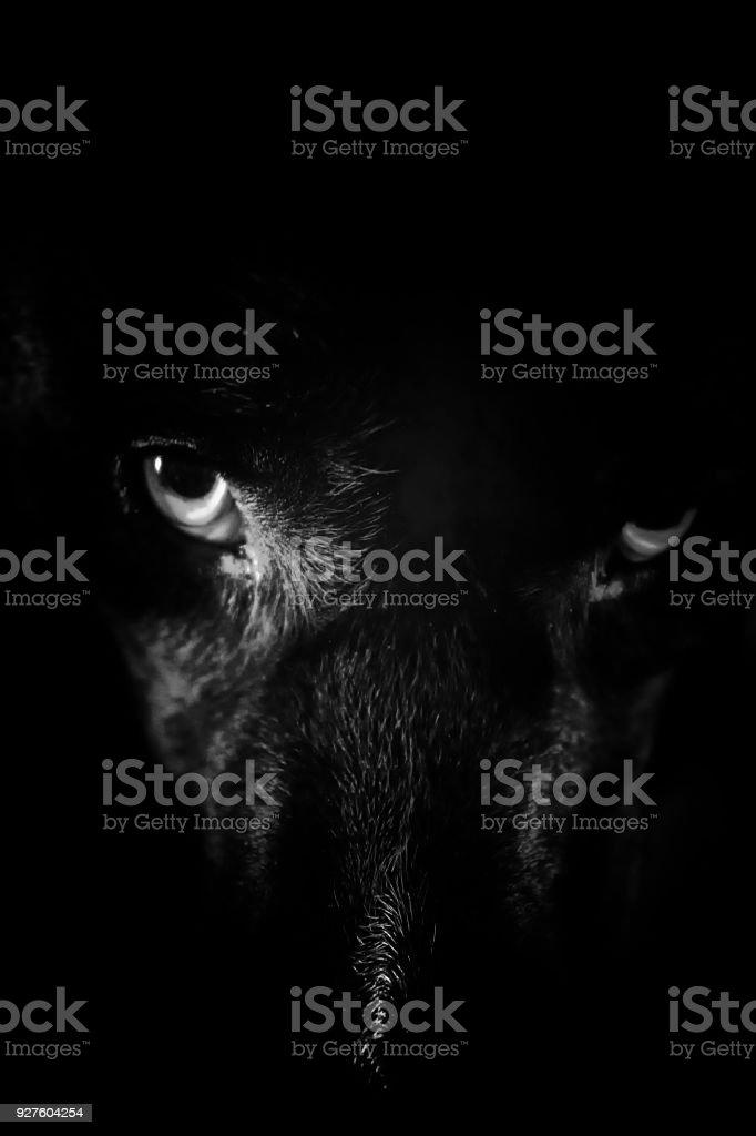 Aska Ein Schöner Schwarzer Hund Mit Blauen Augen Stock Fotografie
