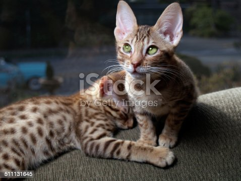 Two Ocicat Kittens in Side Lighting