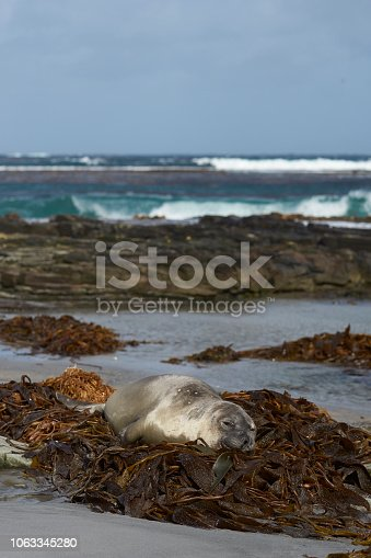 istock Asleep on a bed of kelp 1063345280