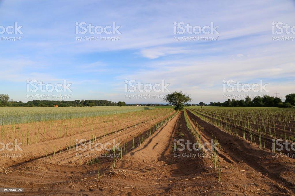 Espárragos cultivo - foto de stock