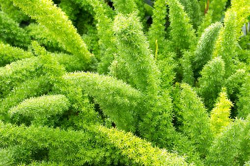 Asparagus fern,Foxtail fern
