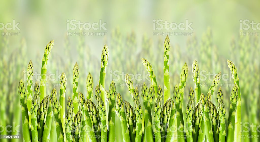 asparagus field, close up, banner for website stock photo