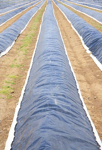 Asparagus field covered with plastic sheets before harvest stock photo
