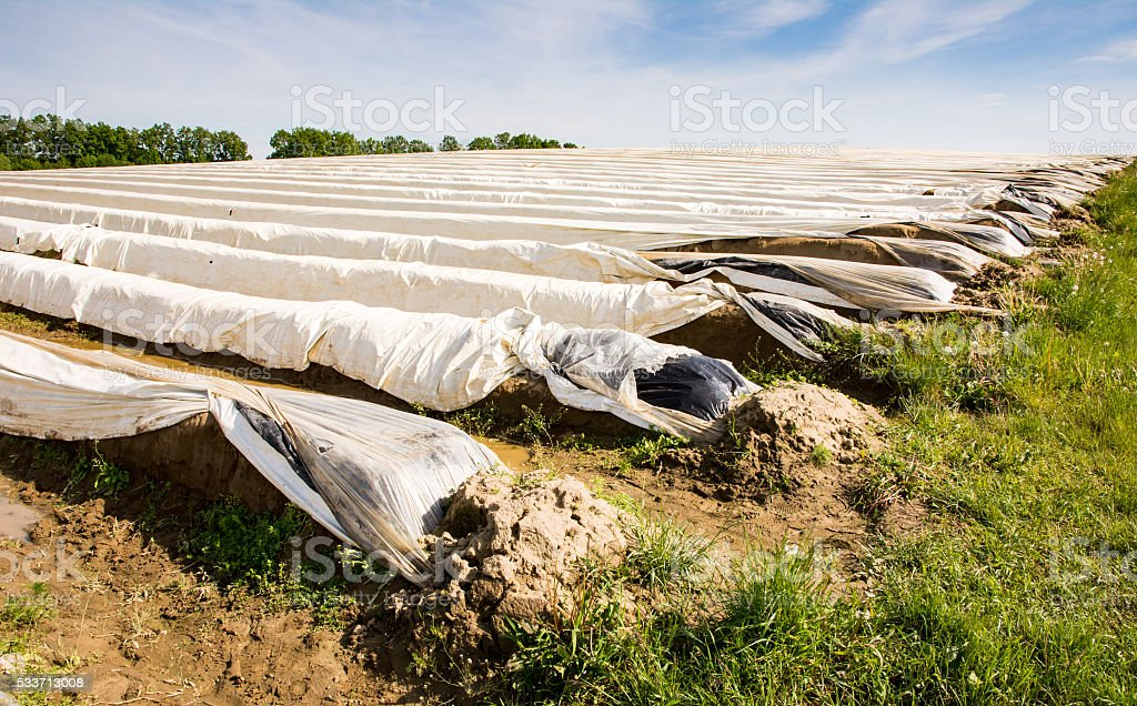 Asparagus field covered with platic foil stock photo