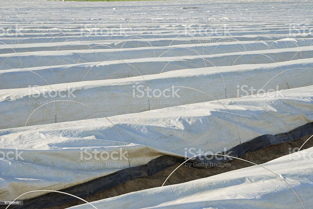 Asparagus field royalty-free stock photo