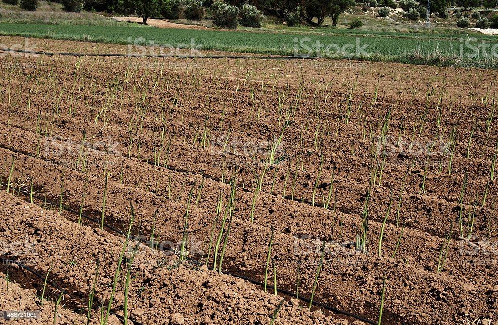 Espárragos creciente en España - foto de stock