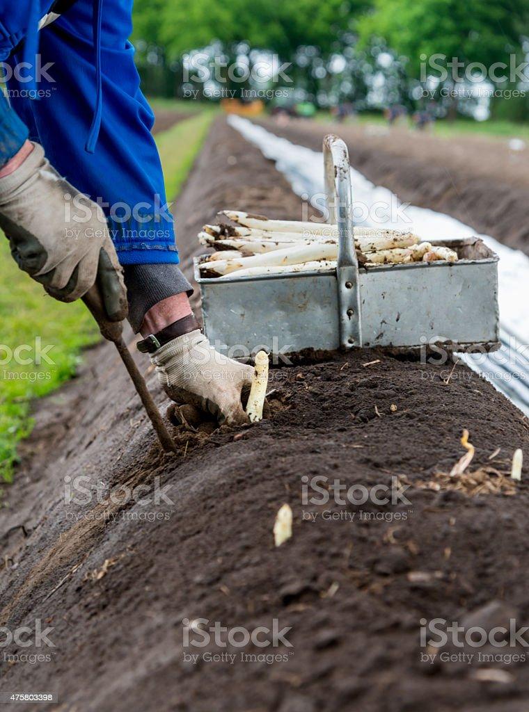 Espárragos harvest, primer plano de manos del agricultor de recolección. - foto de stock