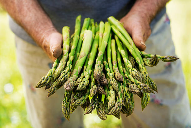 Asparagus in hands of a farmer stock photo