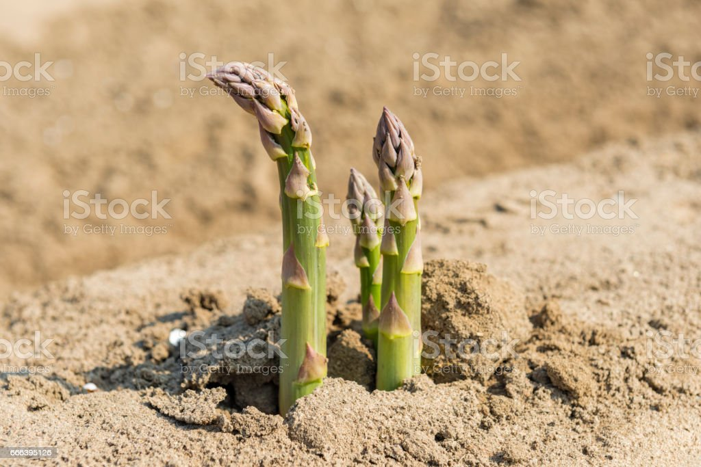 asparagus on field close-up stock photo