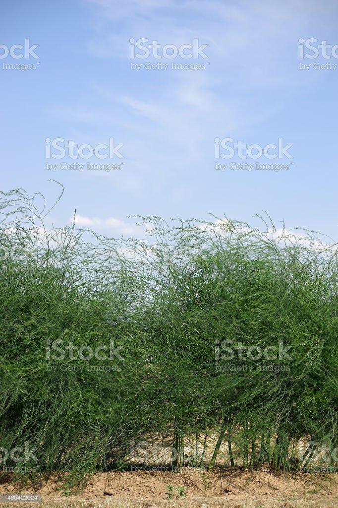 Espárragos plantas de - foto de stock