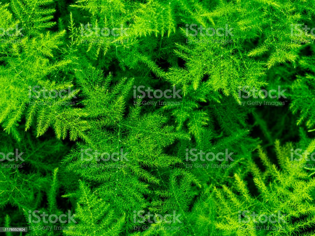 Asparagus Plumosusleafy Green Backgroundsleaf Natureasparagus Setaceus Stock Photo Download Image Now Istock