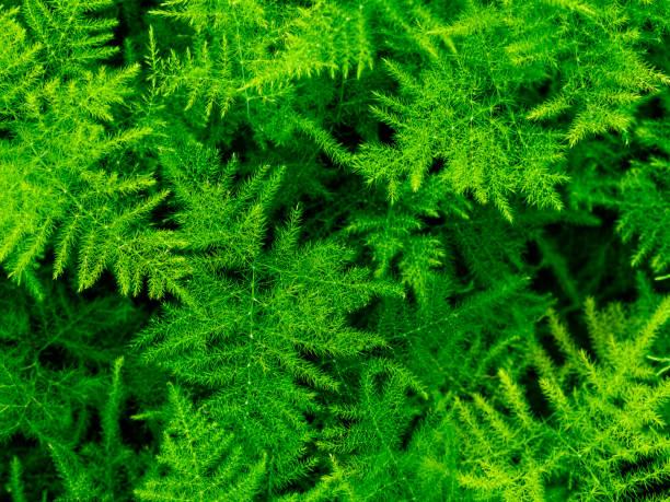 Asparagus plumosus,Leafy green backgrounds,Leaf, Nature,Asparagus setaceus, stock photo