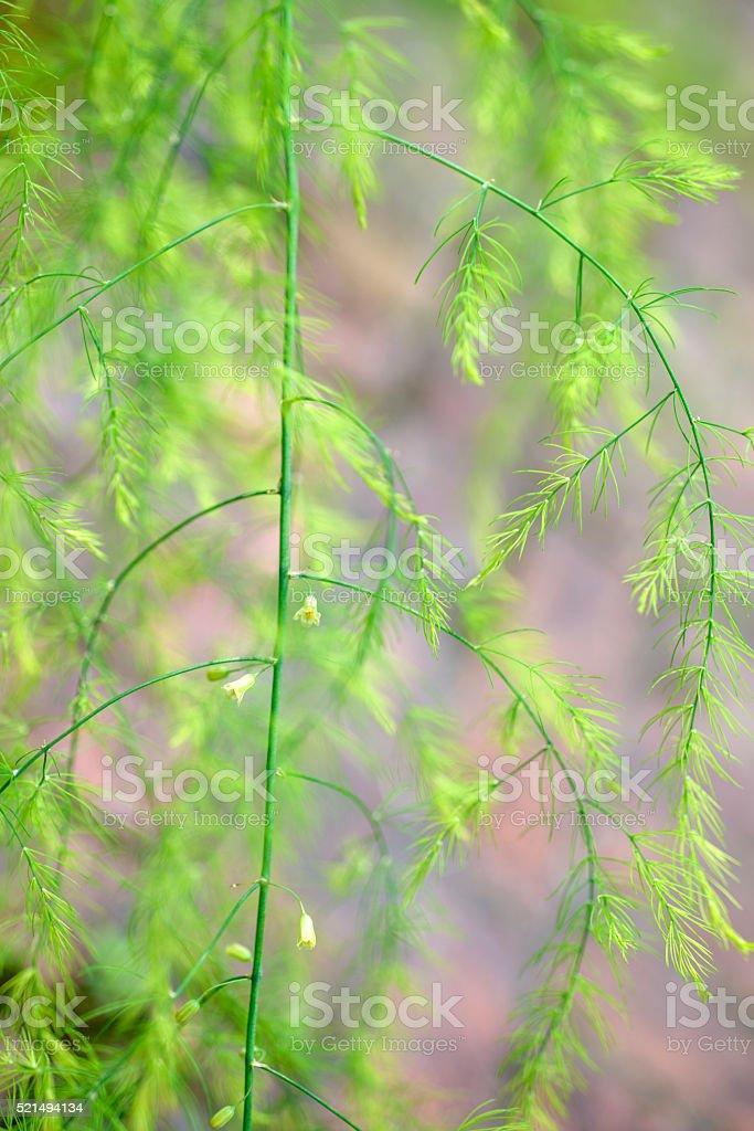 Espárragos racemosus. Vegetal infinidad de texturas. - foto de stock