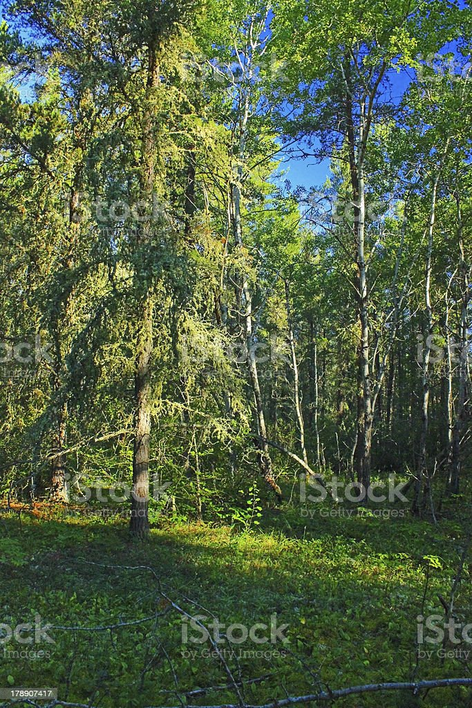 Aspen and Fir royalty-free stock photo