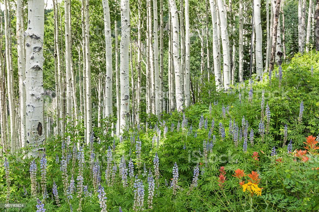 Aspen and Lupine Hillside stock photo