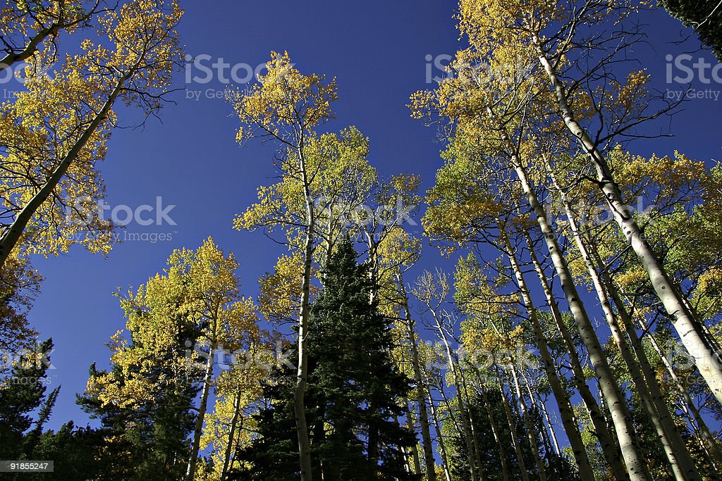 Aspen And Pine Trees in Autumn Against a Blue Sky stock photo